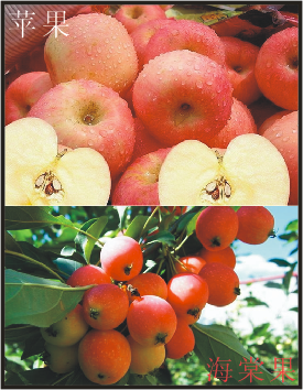 海棠果与苹果